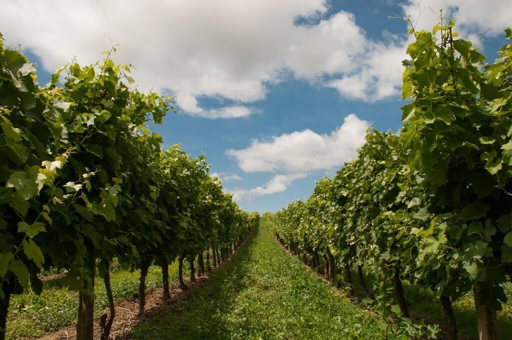 vineyard-440343_1280